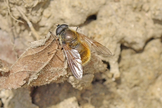 ch.chrysocoma