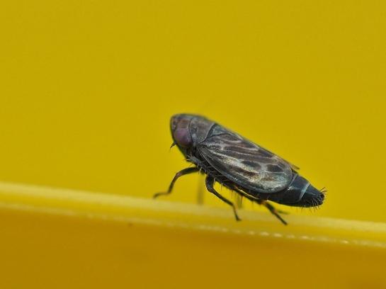 d.pulicarius