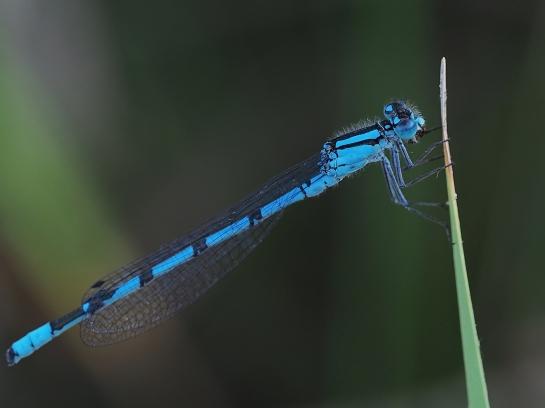 e.cyathigerum
