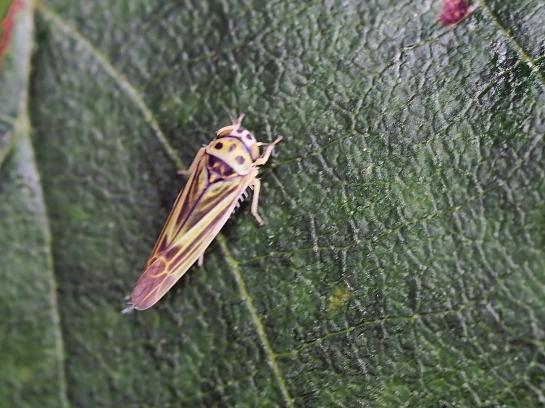 e.jucunda