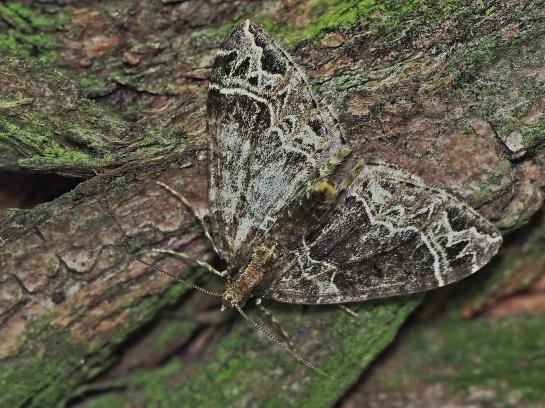 e.silaceata