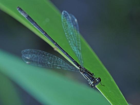 Isch.elegans