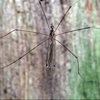 Limoniidae - Sygaczowate