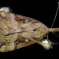 Hypena rostralis - Rozszczepka nosatka