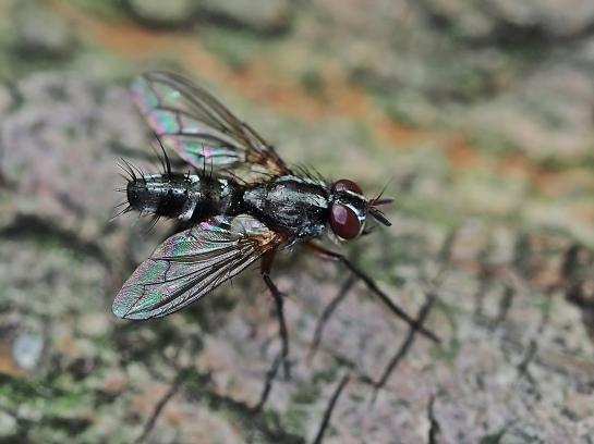 m.rufiventris