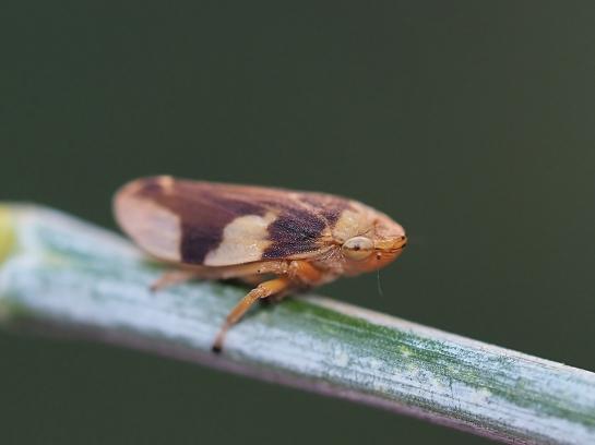 p.spumarius