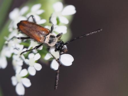 par. maculicornis