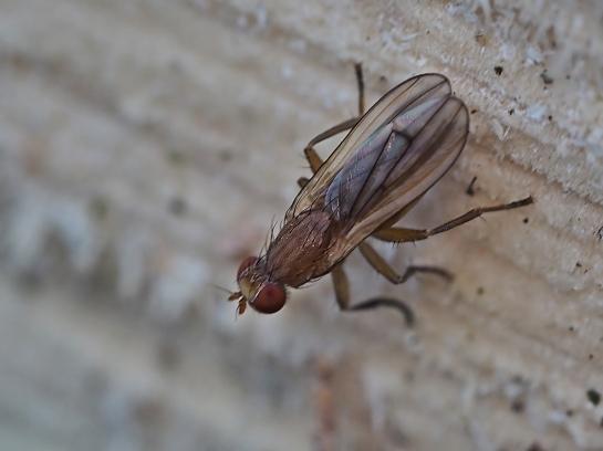 ph.albocostata