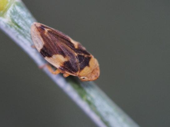 ph.spumarius