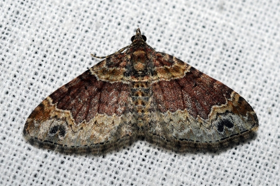 x.ferrugata