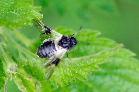 A.fasciata