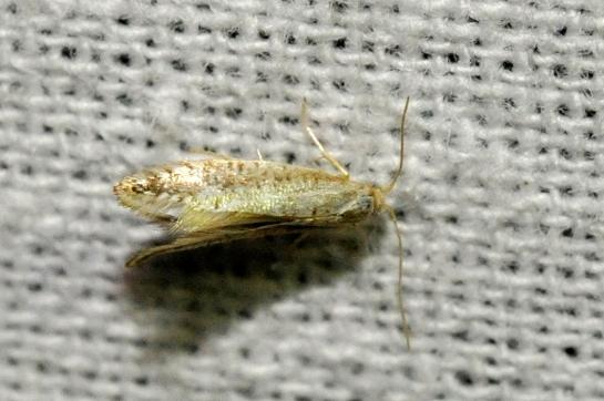 Arg.retinella