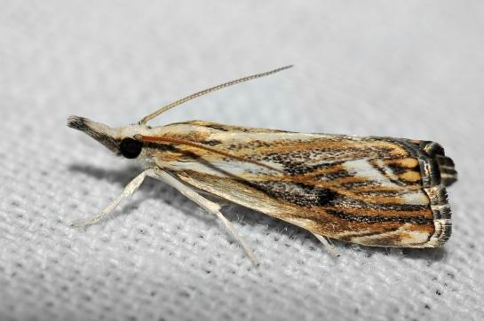 C.falsella