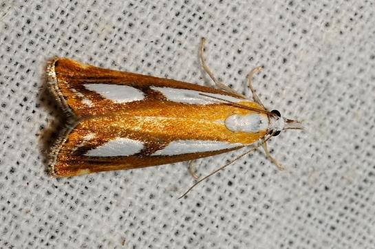 C.osthelderi