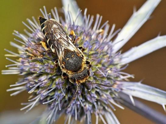C.aurolimbata