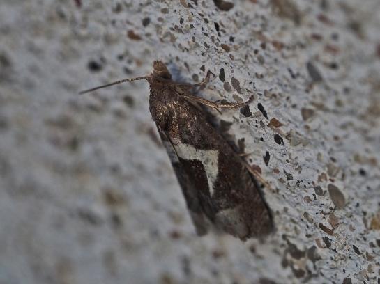 E.foenella