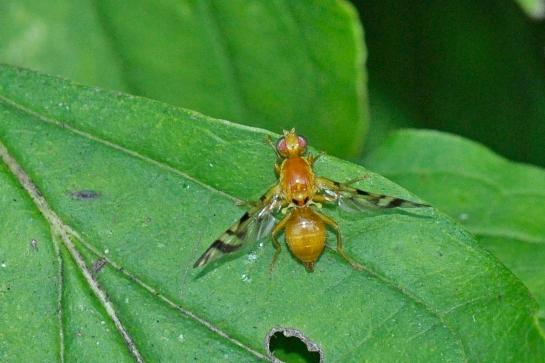 E.heraclei