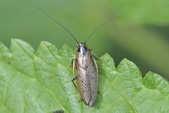 E.lapponicus