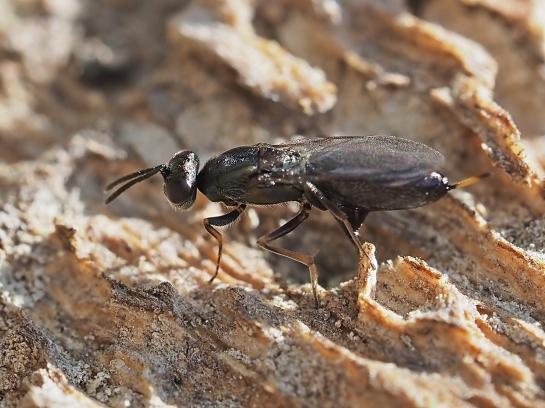 E.urizonus