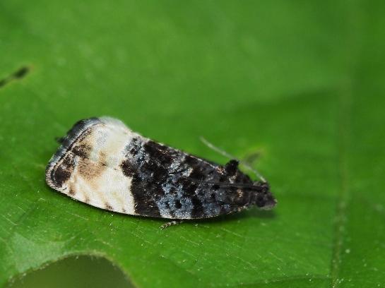 H.pruniana