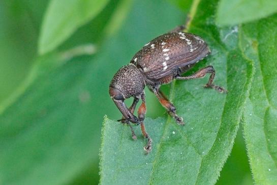 Hyl.transversovittatus