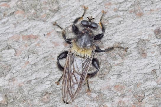 L.ephippium