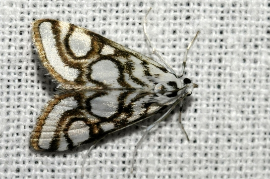 N.nitidula