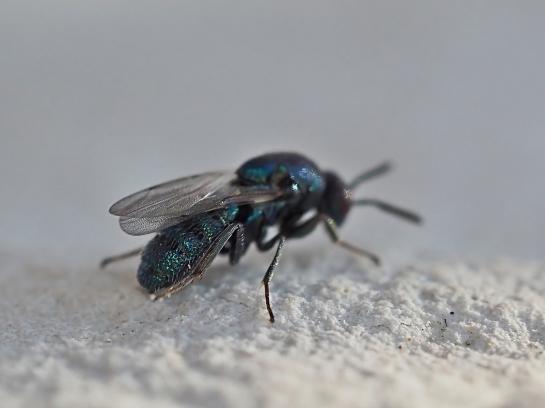 ormyrusspecies