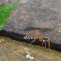 Ichneumonidae - Gąsienicznikowate