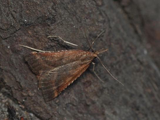 S.punctalis