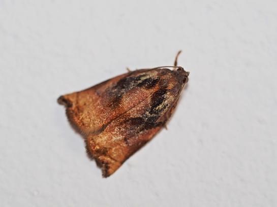A.podana