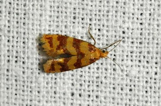 A.rutillana