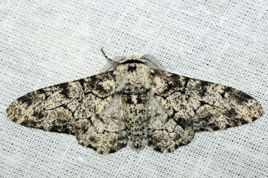 Bi.betularia.