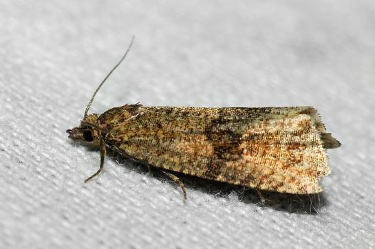 C.striana