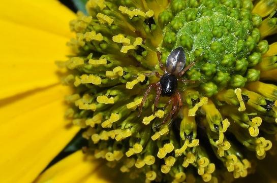 Cet.laticeps