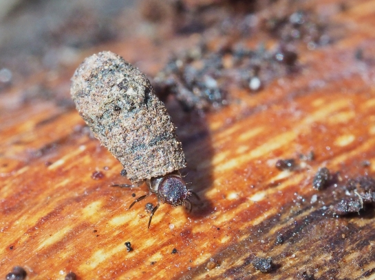 Clytra larva