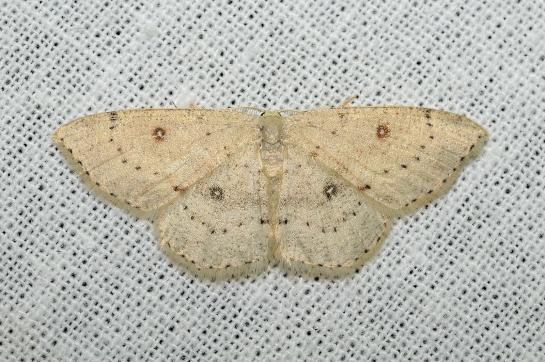 Cyc albipunctata