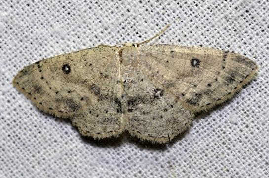 Cyc.albipunctata.