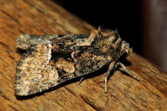 E.lucipara
