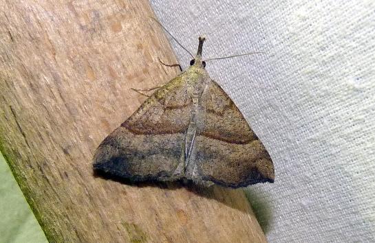 H.proboscidalis