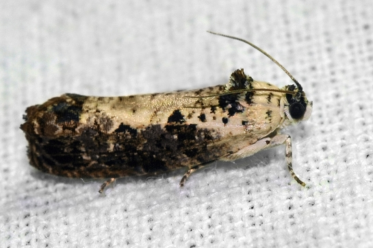 H.salicella