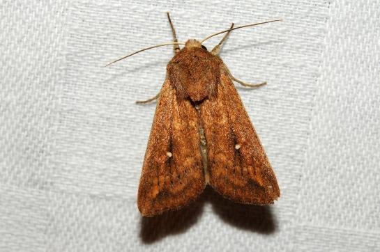 M.albipuncta.