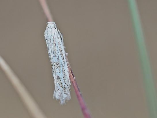 P.inopella