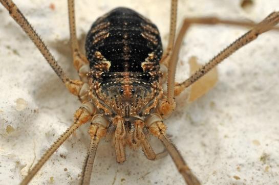 P.opilio female