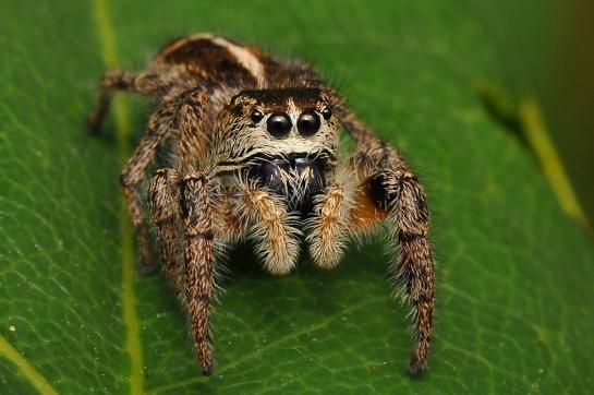 P.tripunctatus female