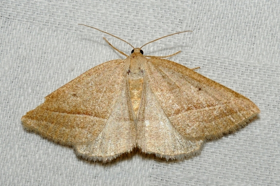 Pet.chlorosata