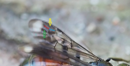 Priocnemis fore wing