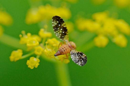 Ac.corniculata