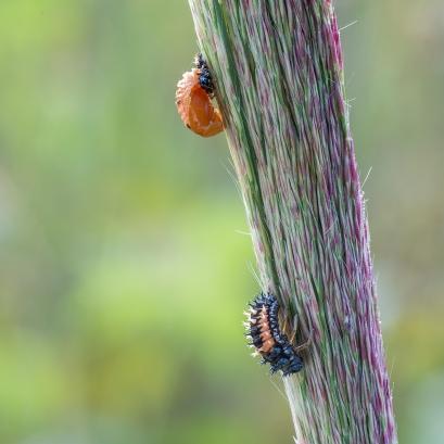 Harmonia larva&pupa