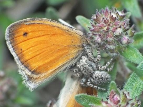 A.festivus